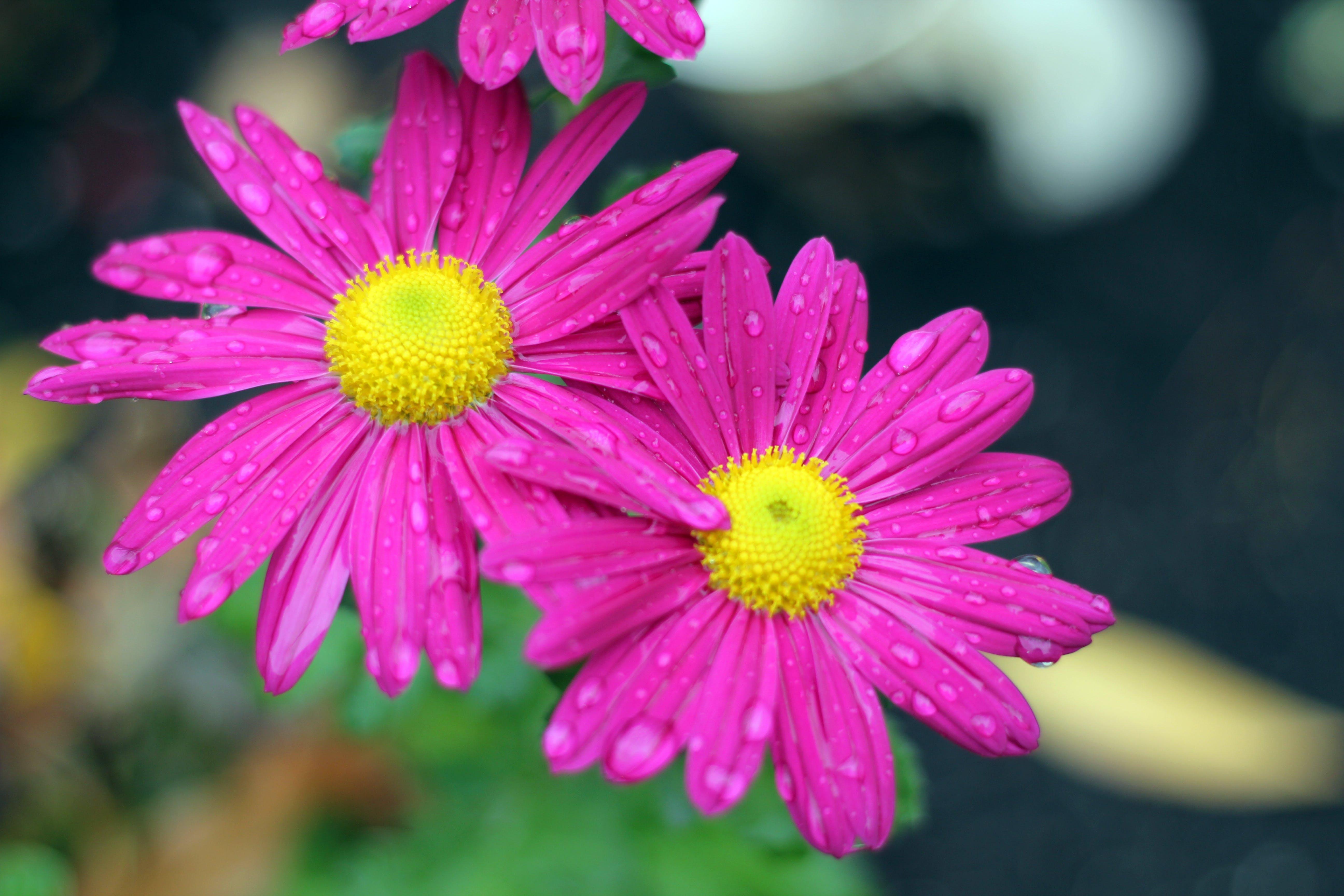 Free stock photo of purple, purple daisies