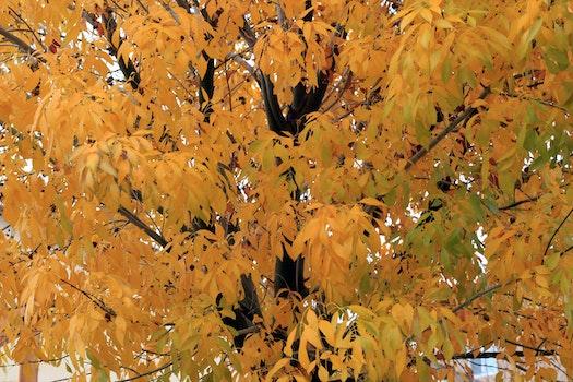 Free stock photo of tree, autumn leaves