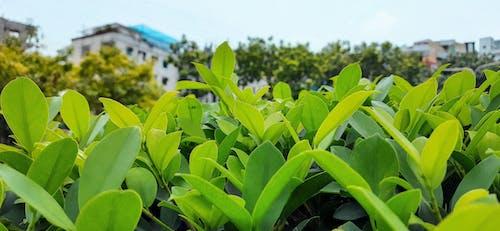 Free stock photo of dark green leaves, dark green plants, evergreen