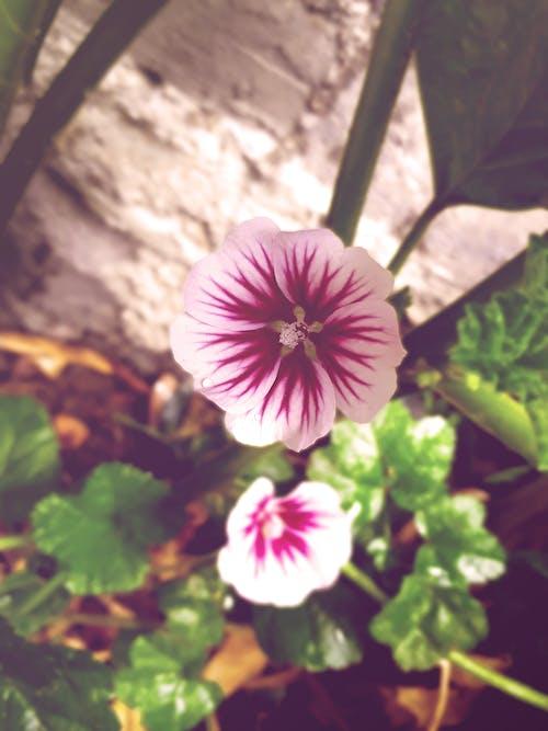 Fotos de stock gratuitas de flor, flor rosa, flor silvestre, malváceas
