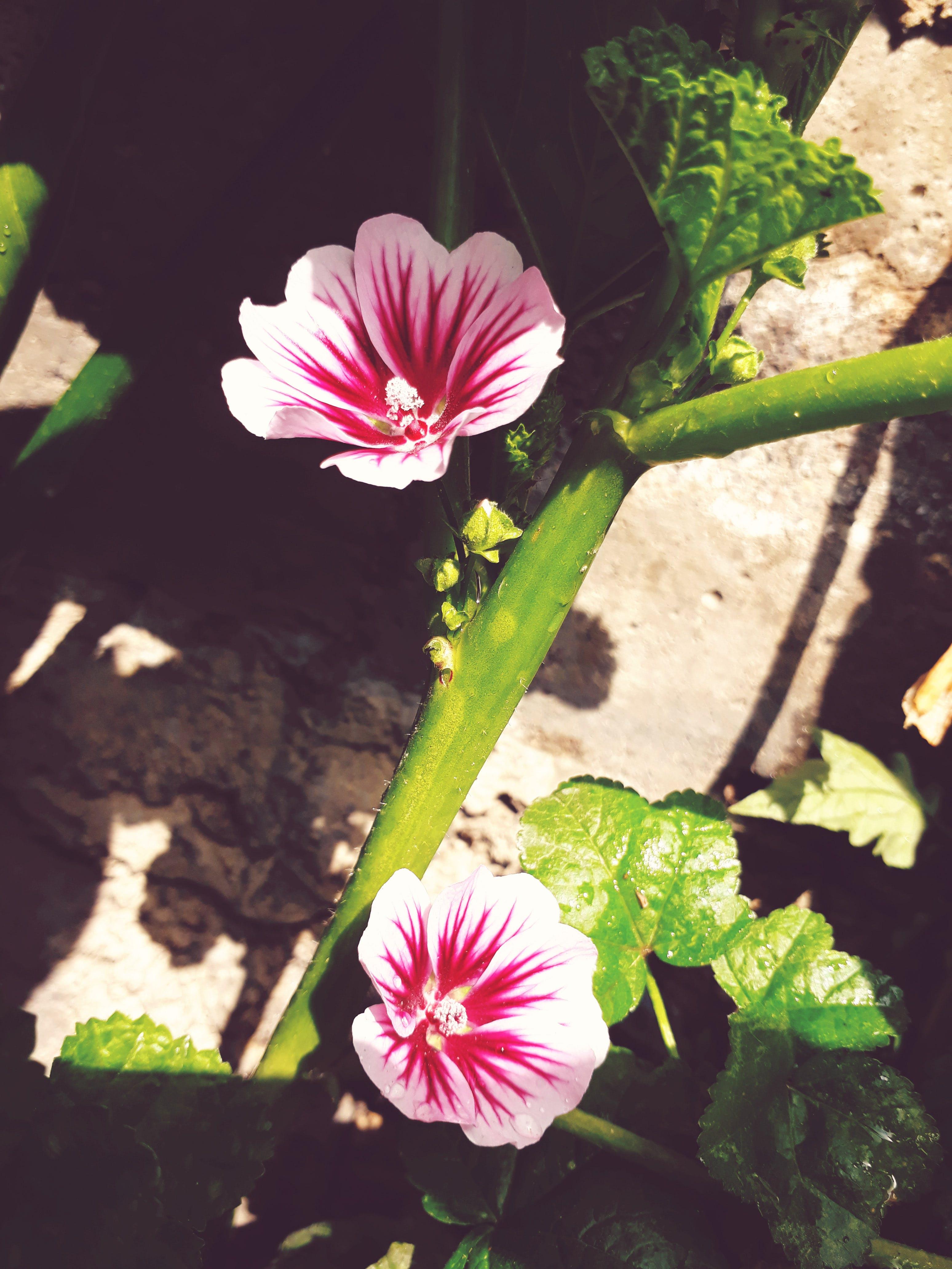 Free stock photo of flower, malvaceae, pink flower, wild flower