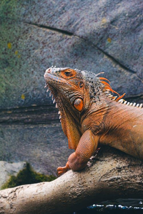 Free stock photo of amazon, animal, bearded dragon