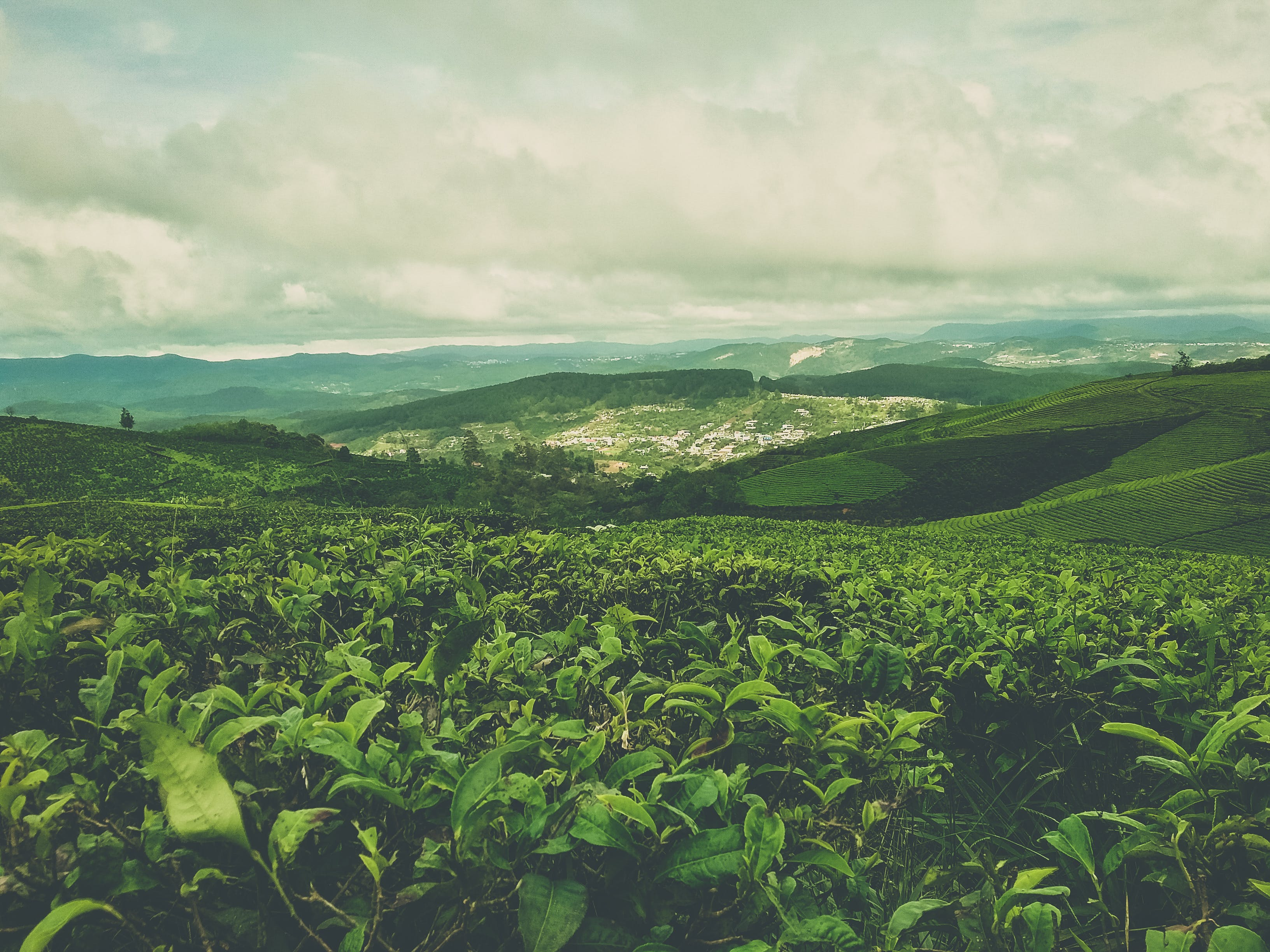 Free stock photo of green, green tea, nature, vietnam