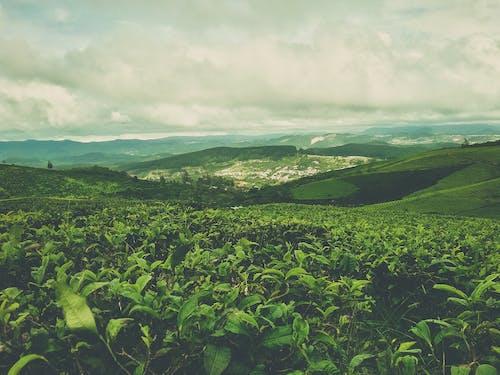 ベトナム, 緑, 緑茶, 自然の無料の写真素材
