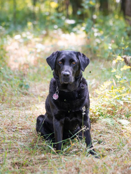 Free stock photo of dog, forest, labrador