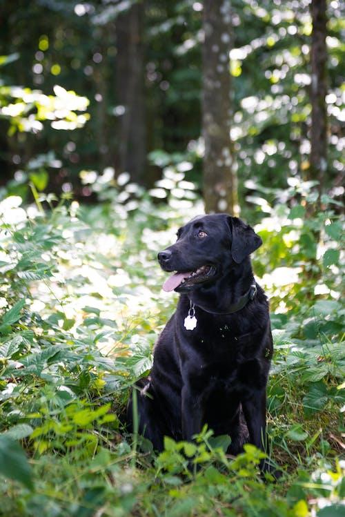 Black Labrador Retriever Sitting on Green Grass Field