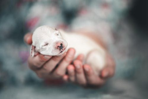 White Short Coated Puppy on Persons Hand
