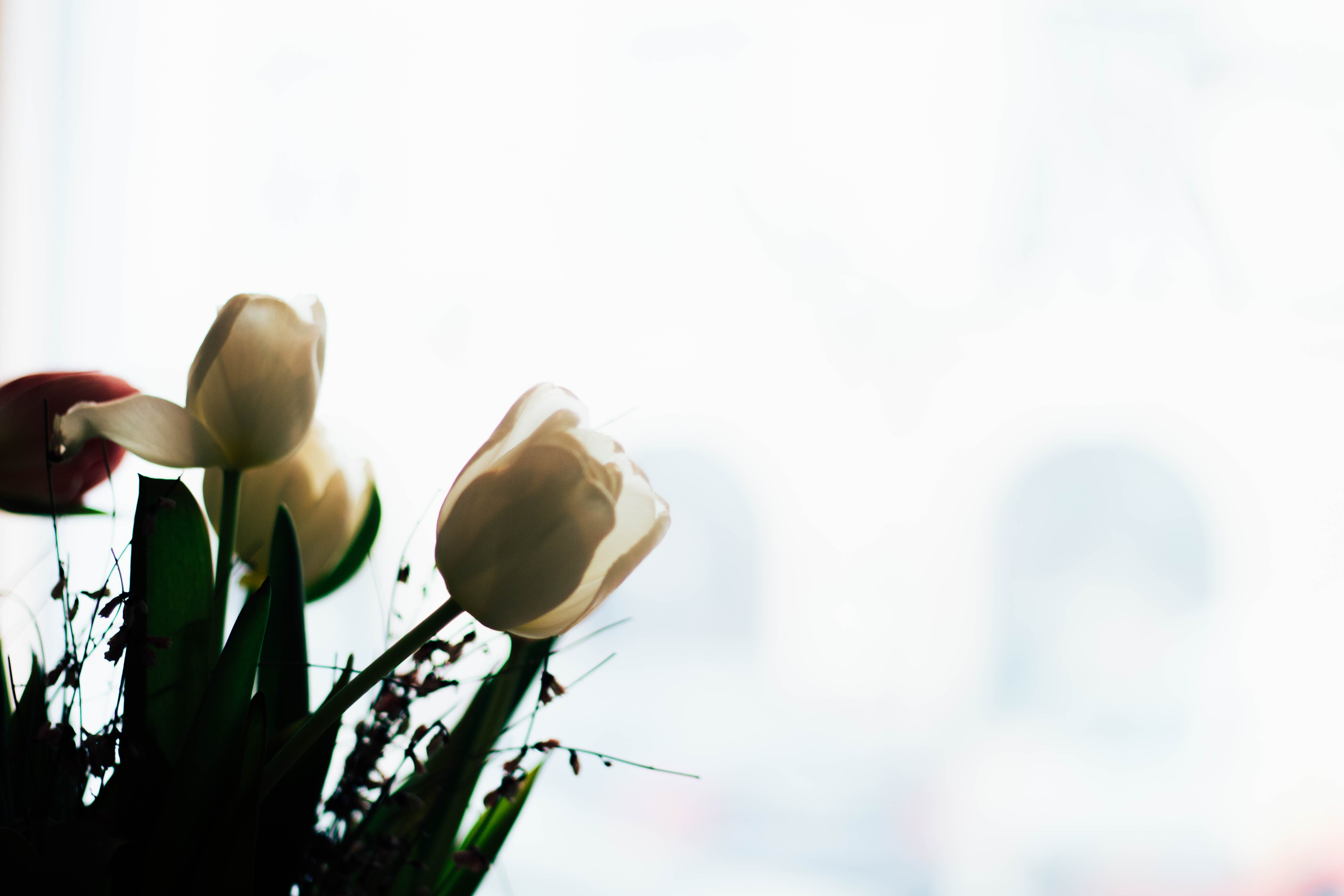 Low Angle Photography White Tulip Flowers