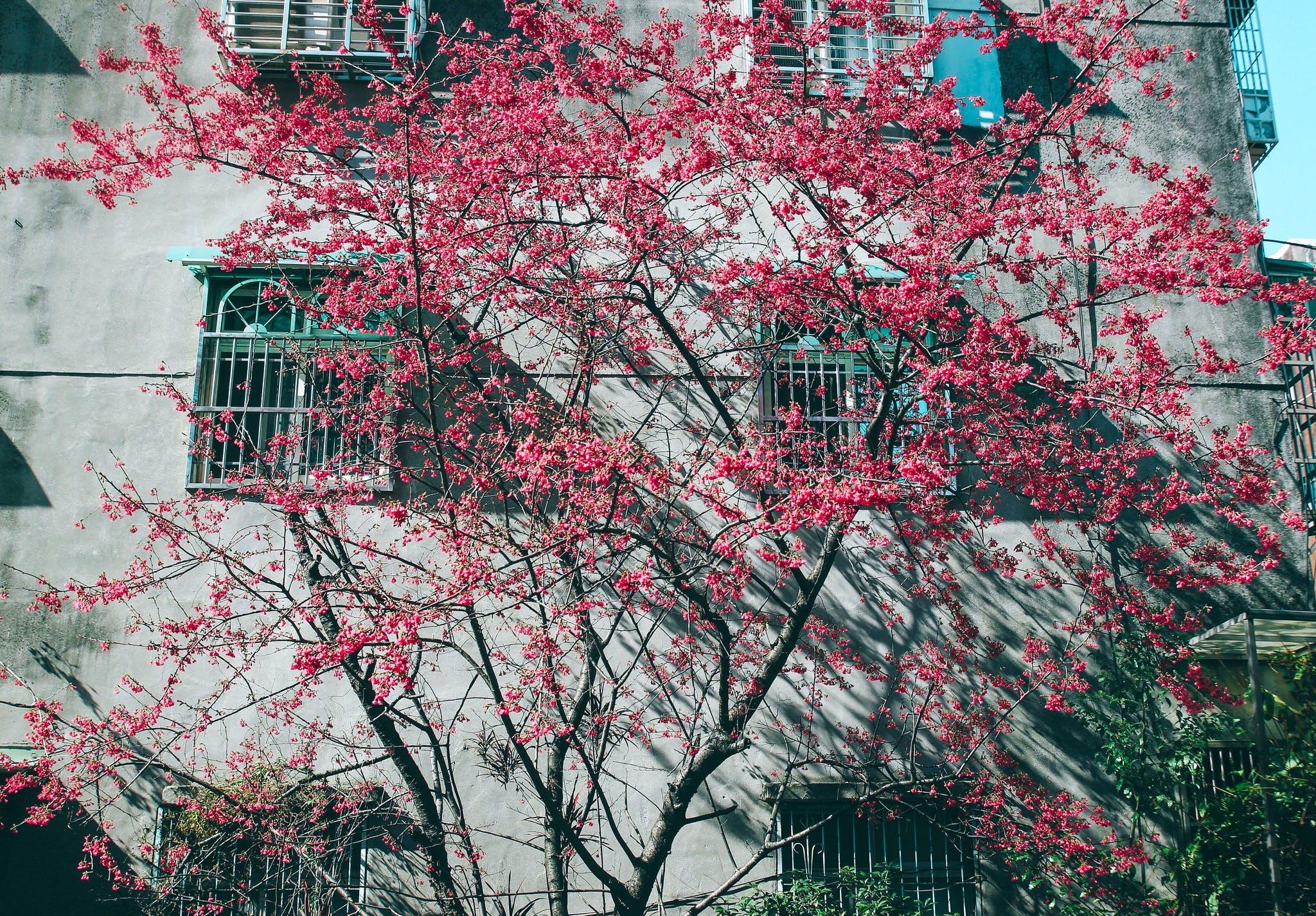Pink Leaf Tree