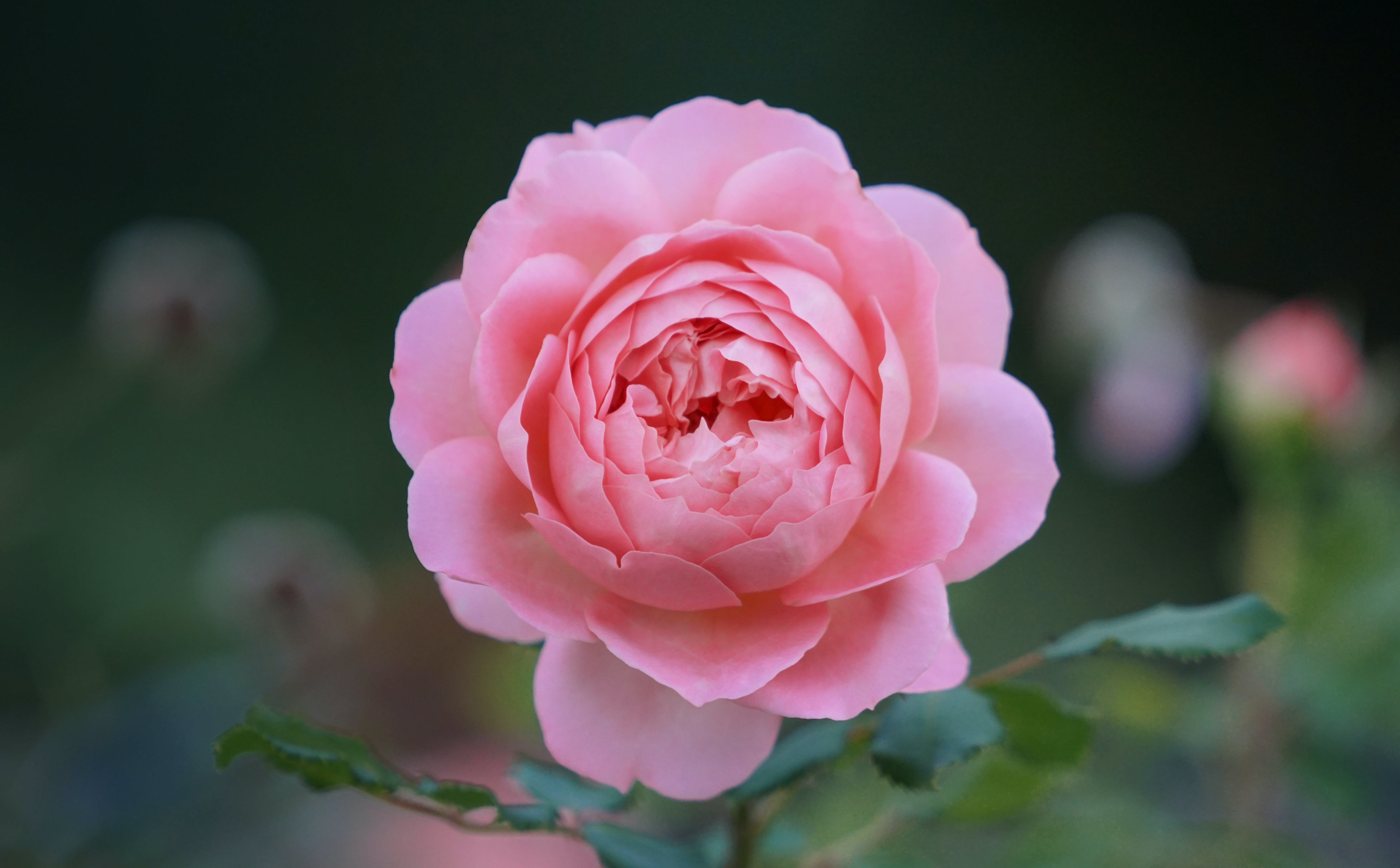 Shallow Depth of Field Photo of Pink Rose Flower