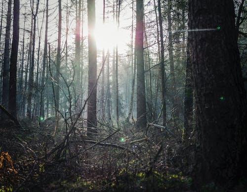 Foto profissional grátis de árvores, coníferas, ecológico, enevoado