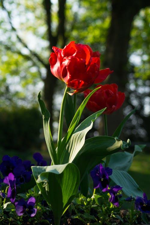 Ảnh lưu trữ miễn phí về hoa, hoa mẫu đơn, màu đỏ, thực vật