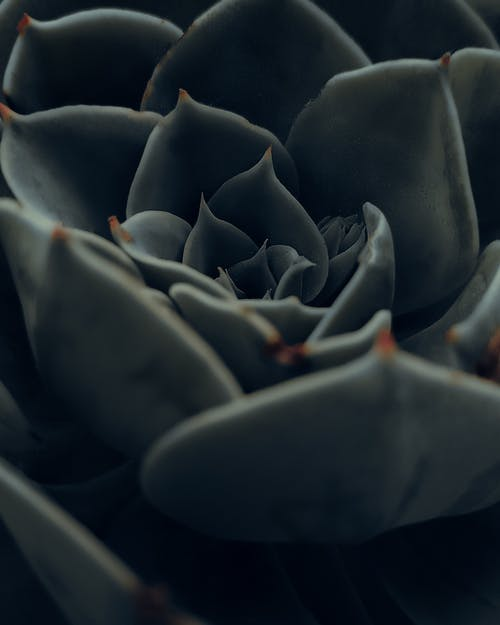 Black Rose in Close Up Photography
