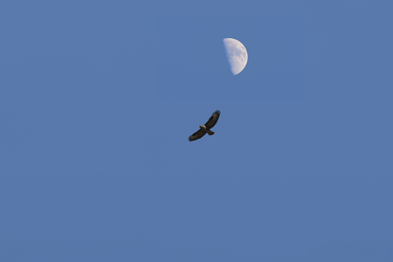 Free stock photo of eagle, half moon