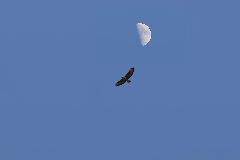 eagle, half moon