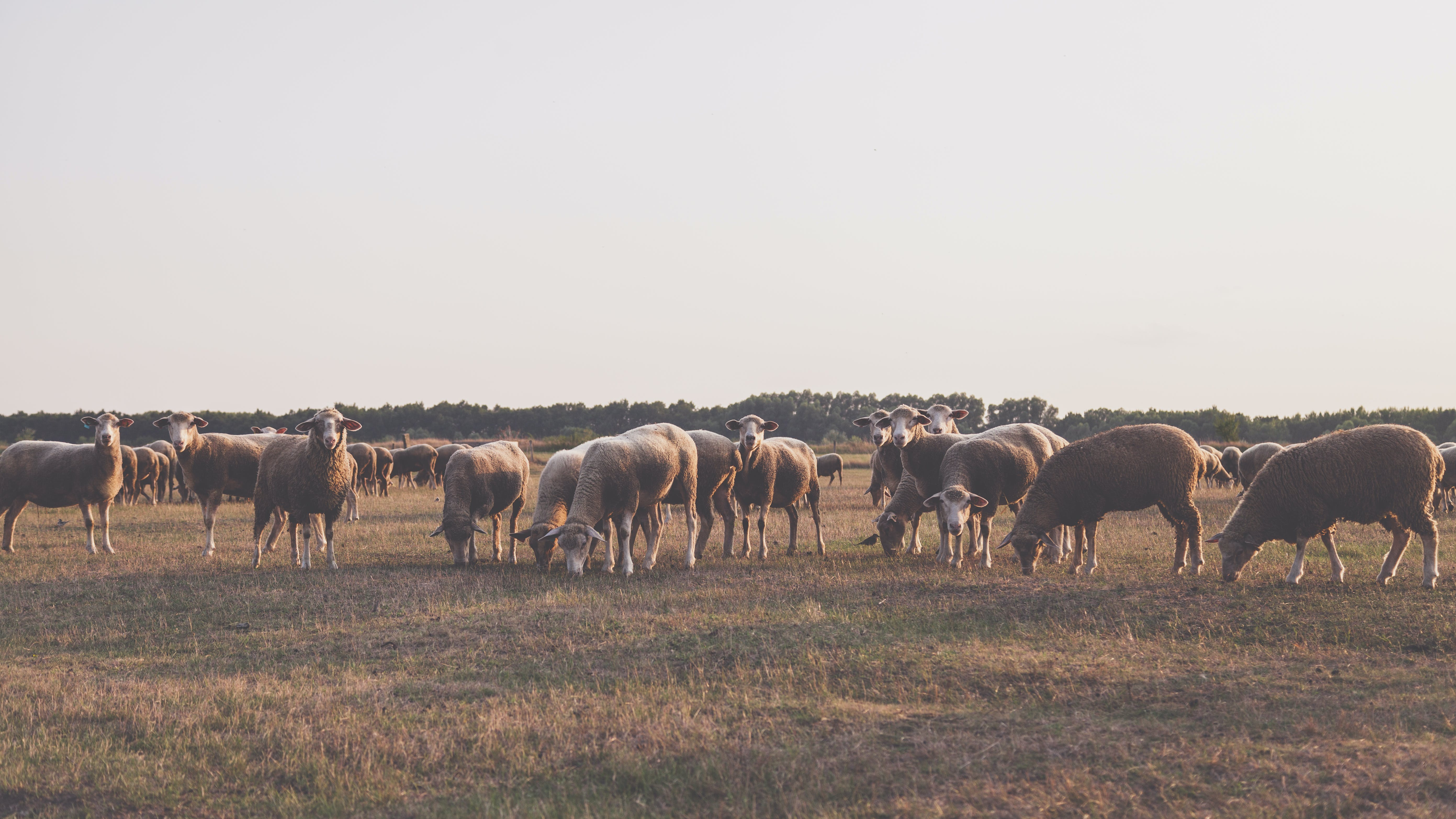 Herd of Sheep Taken Under White Sky