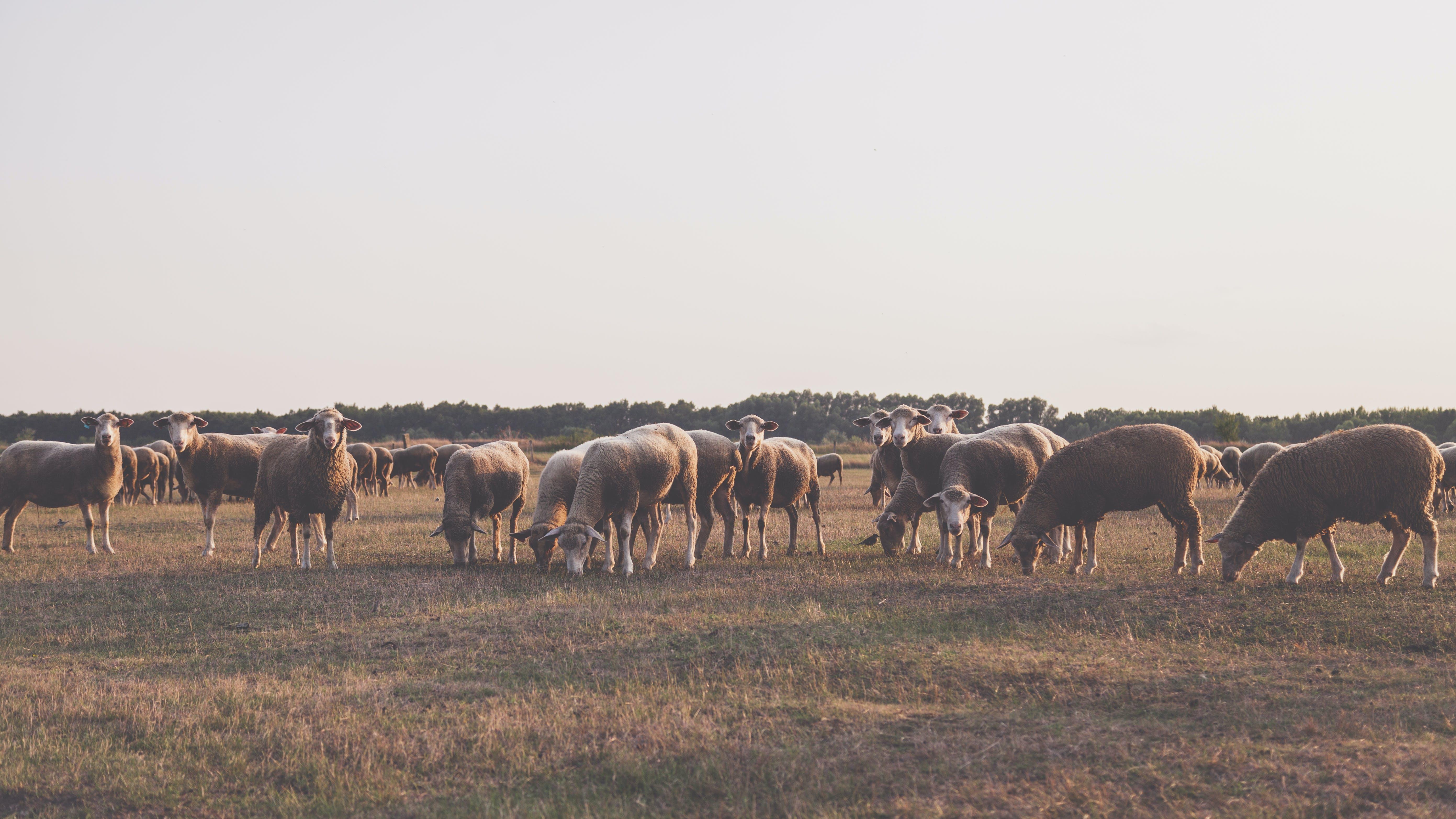 Herd of Sheep Taken Under White Sky