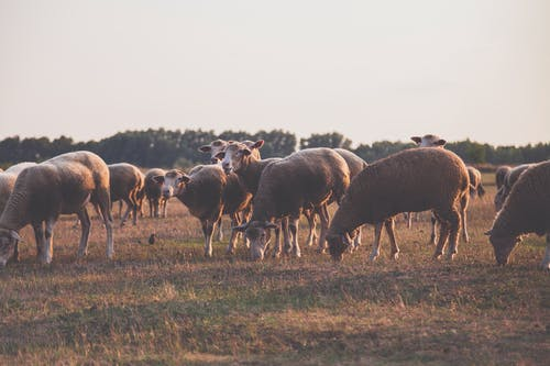 Wildlife Photography of Herd of Sheep
