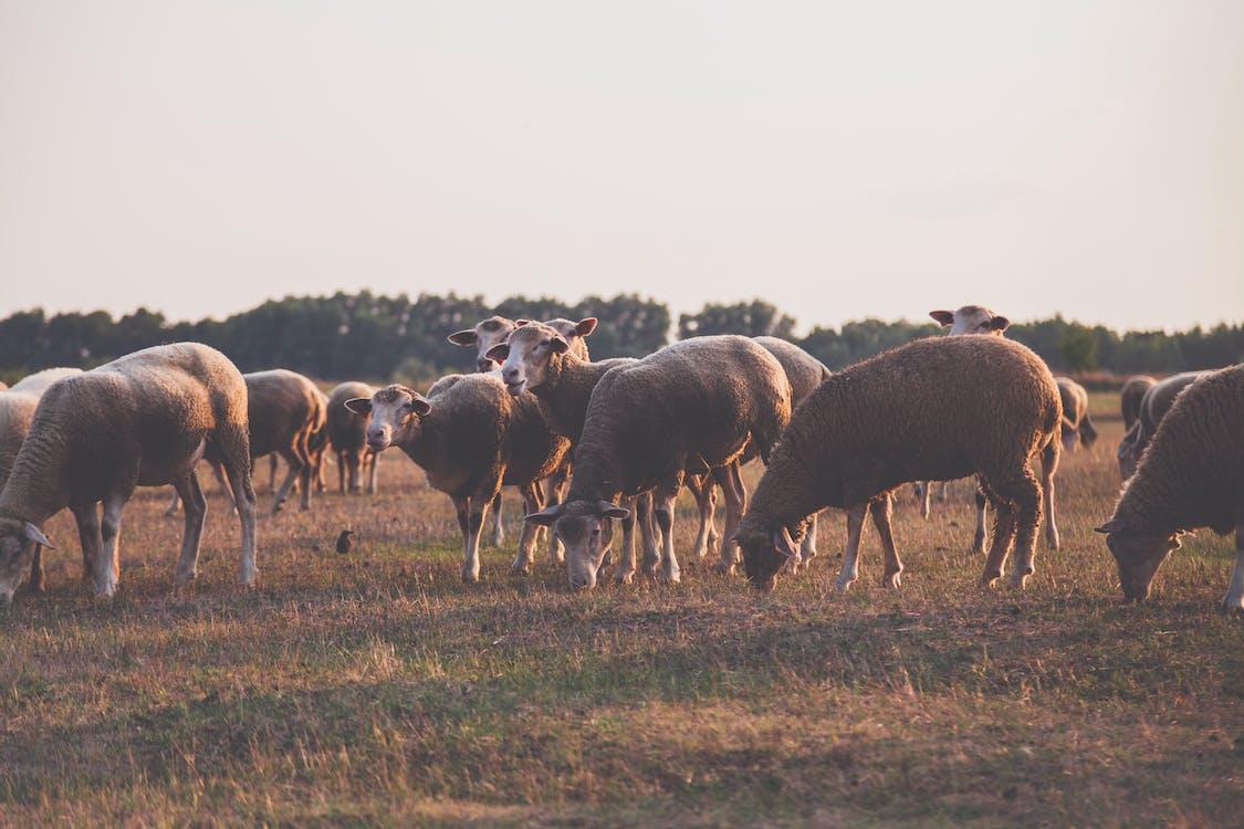 agricoltura, animali, azienda agricola