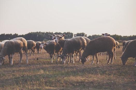 Wildlife Photography of Herd of Sheep