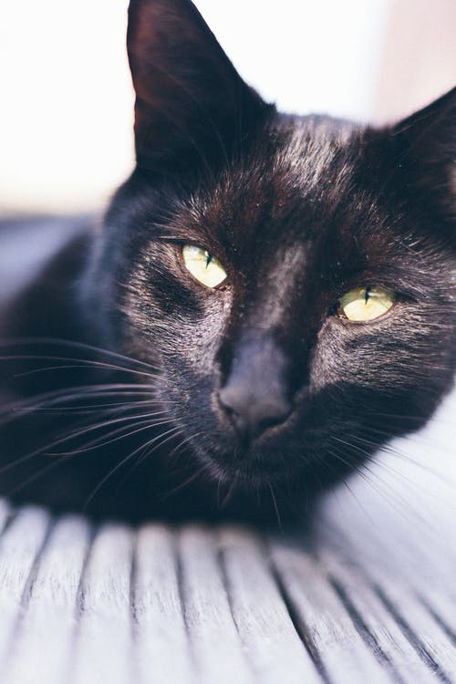 Short-coated Black Cat Photography