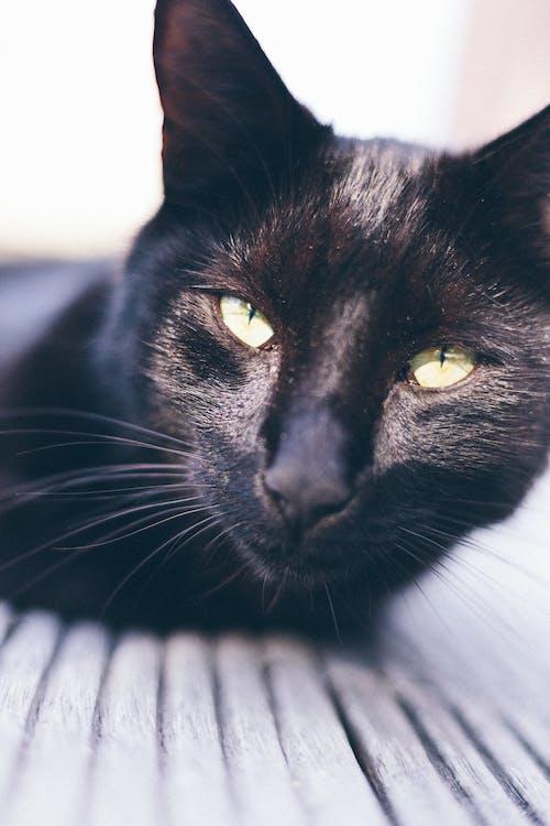Бесплатное стоковое фото с домашняя кошка, животное, кошачьи, кошка