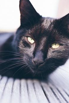 Short-coated Black Cat Photography