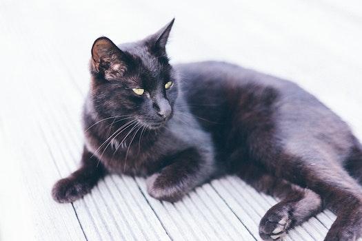Bombay Cat on Grey Ground