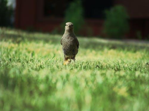 Fotobanka sbezplatnými fotkami na tému príroda, severoamerický vták, tráva
