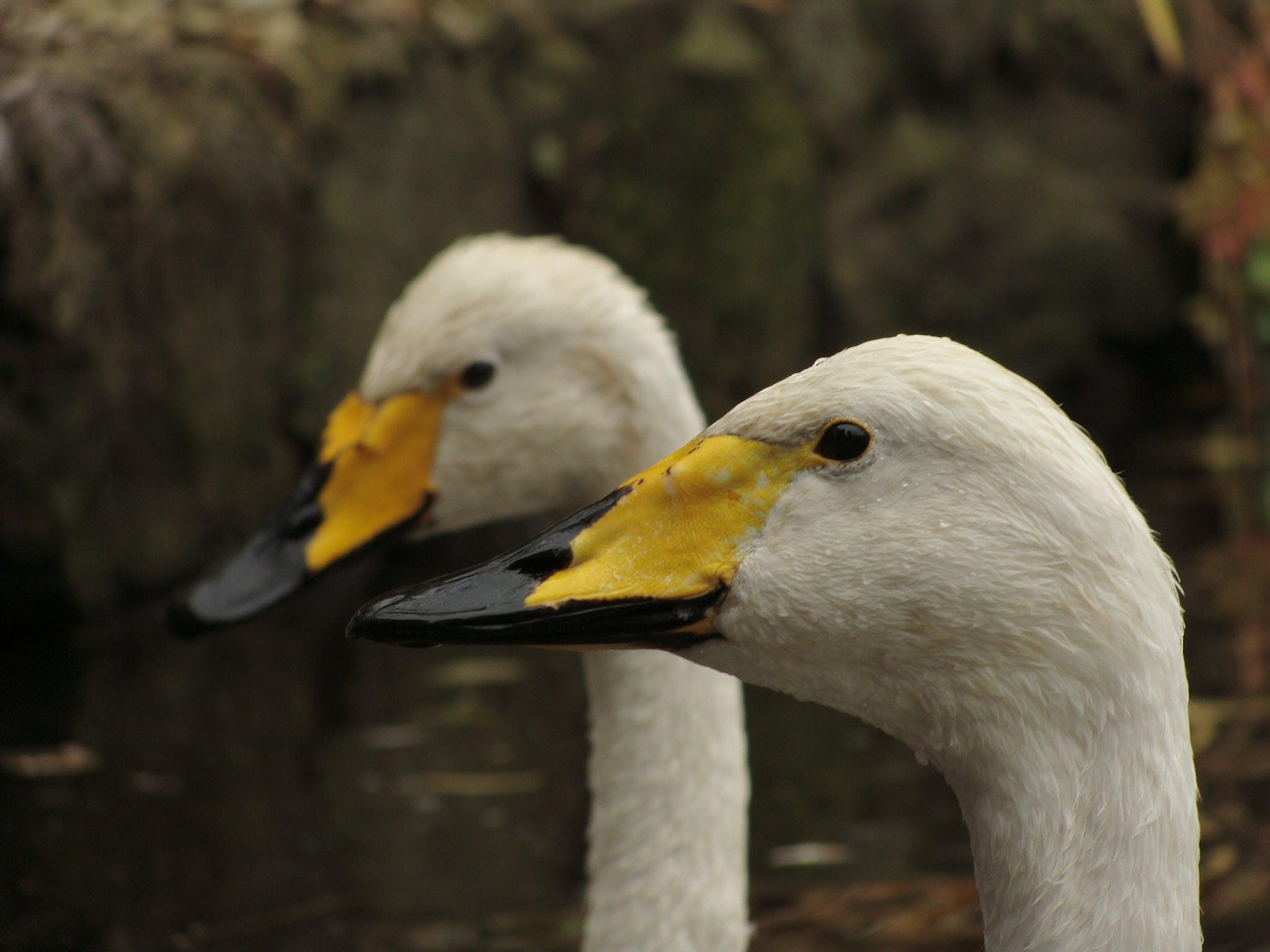 2 White Yellow and Black Ducks