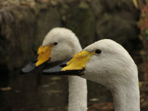 Fotobanka sbezplatnými fotkami na tému labute, mokrý, vodný vták