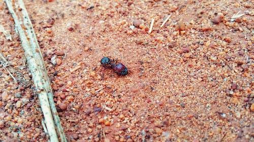 Δωρεάν στοκ φωτογραφιών με γίγαντας μυρμήγκι, μυρμήγκι