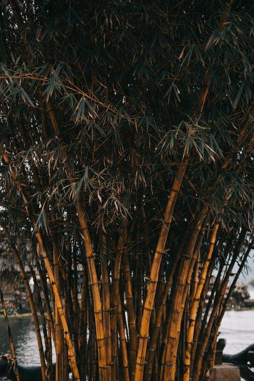 alberi, alberi di bambù, ambiente