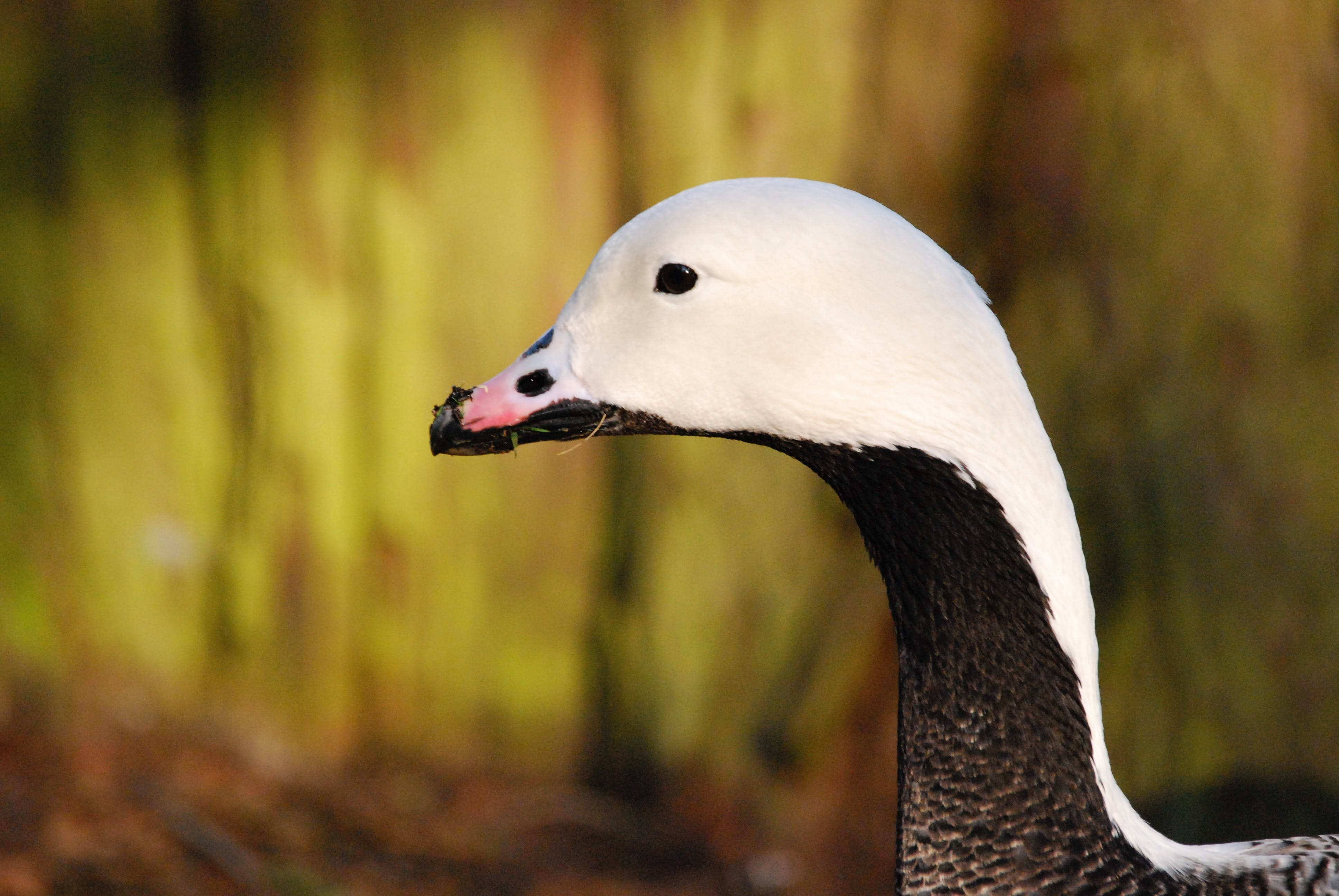 Black and White Duck Close Up Photo