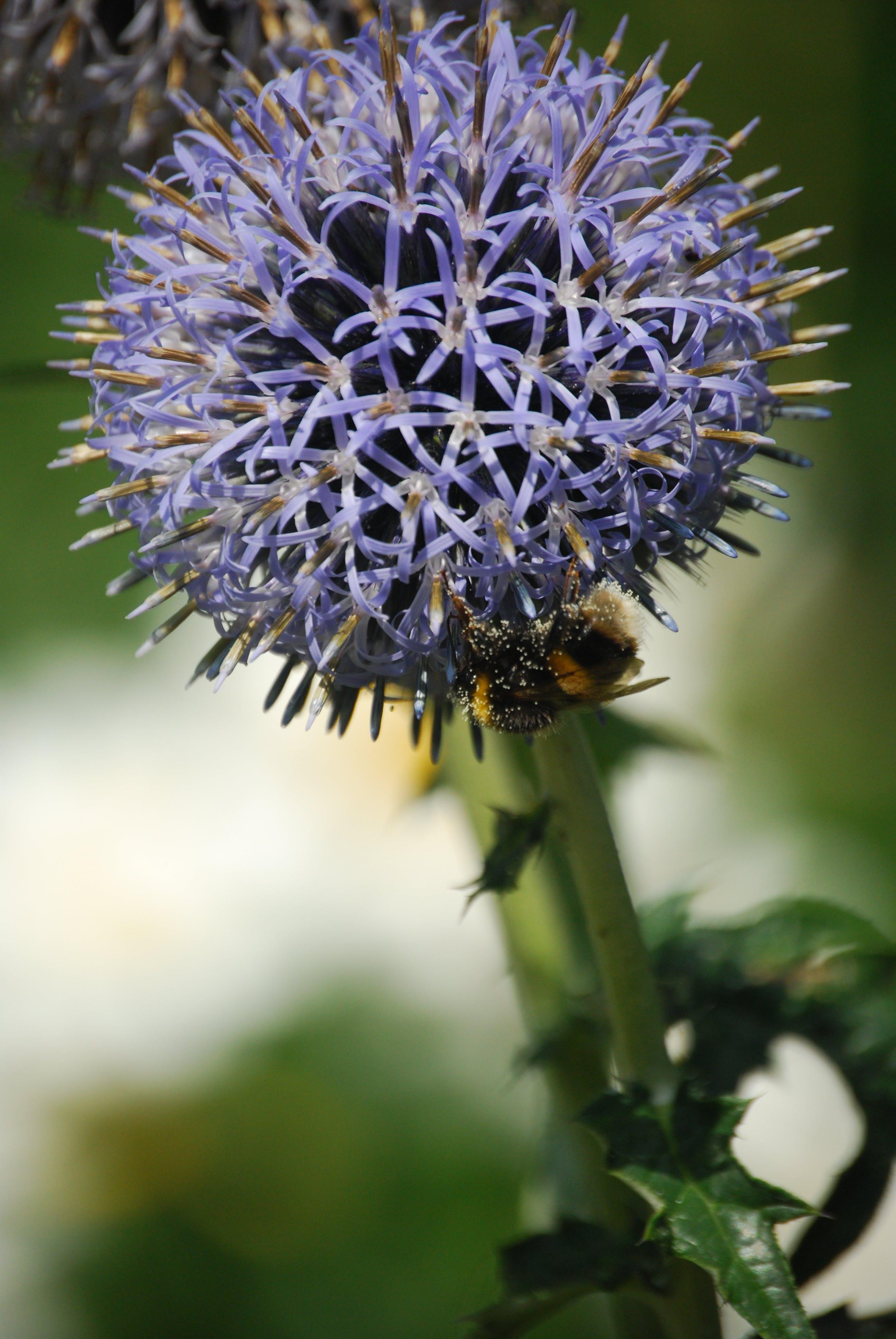 Macro Photo of Purple Round Cluster Flower in Bloom With Honeybee Underneath