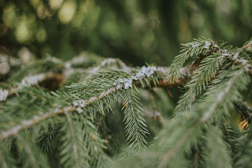 Close Up Shot of a Conifer Branch