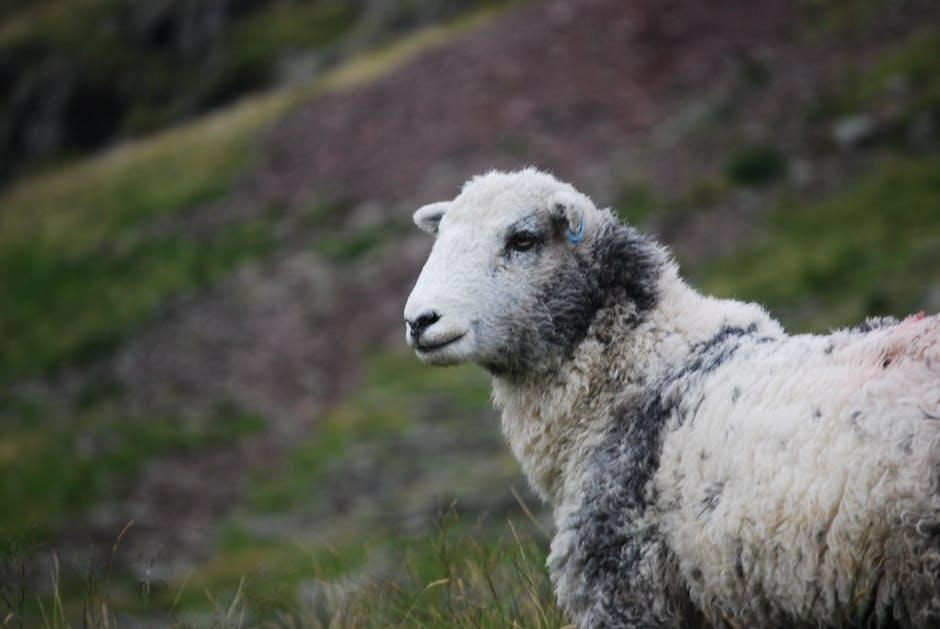 Hill sheep wool