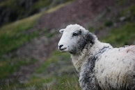 animal, hill, sheep