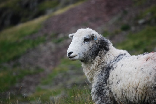 White and Gray Sheep
