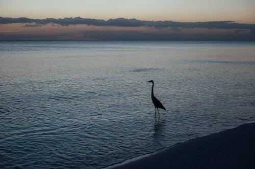 Sylwetka Kaczki Na Brzegu Podczas Zachodu Słońca