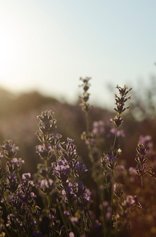 Lavender Flowers in Macro Shot