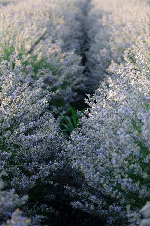 Photo of a Lavender Field