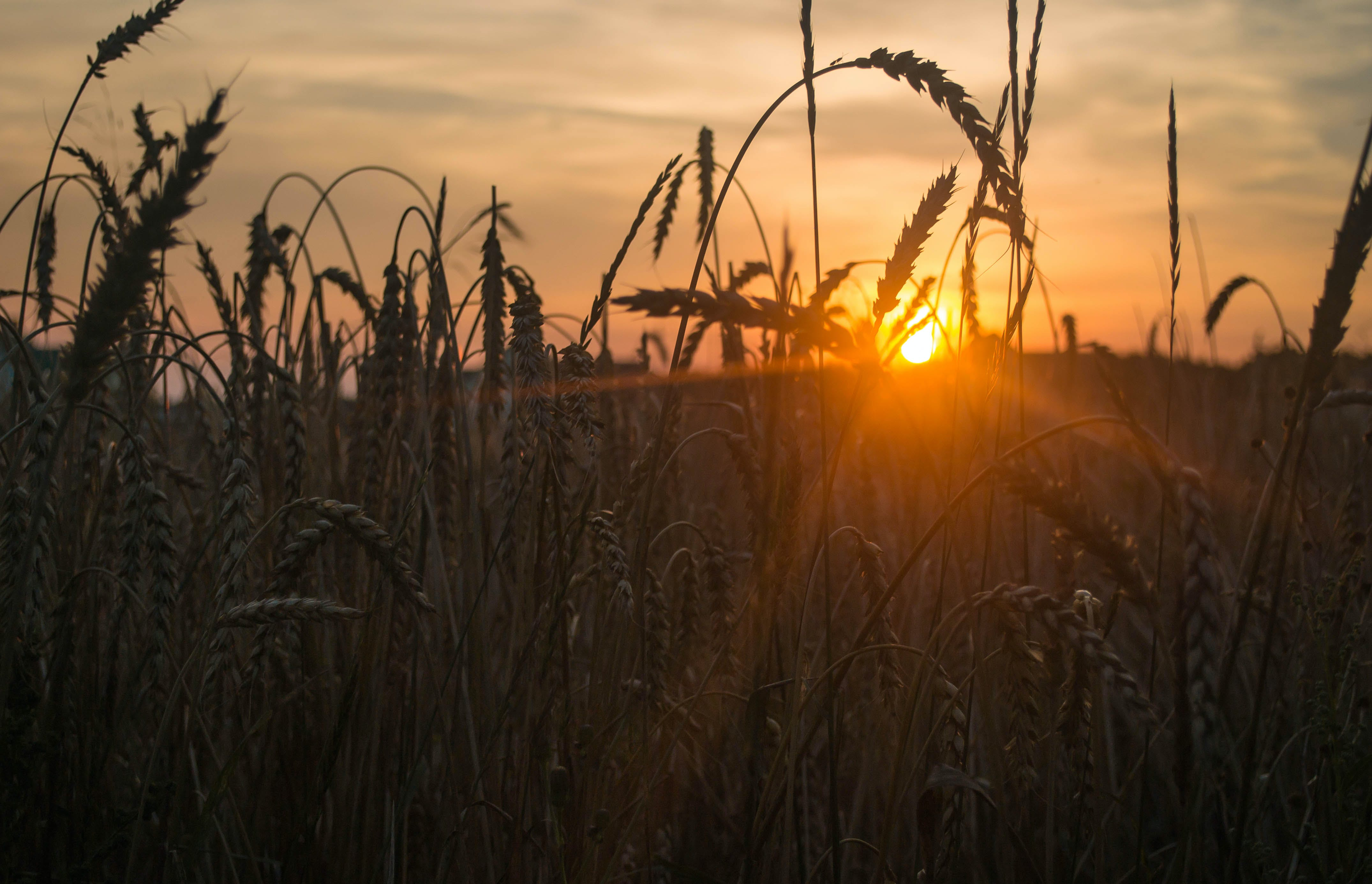 Sun Sets Behind Wheats