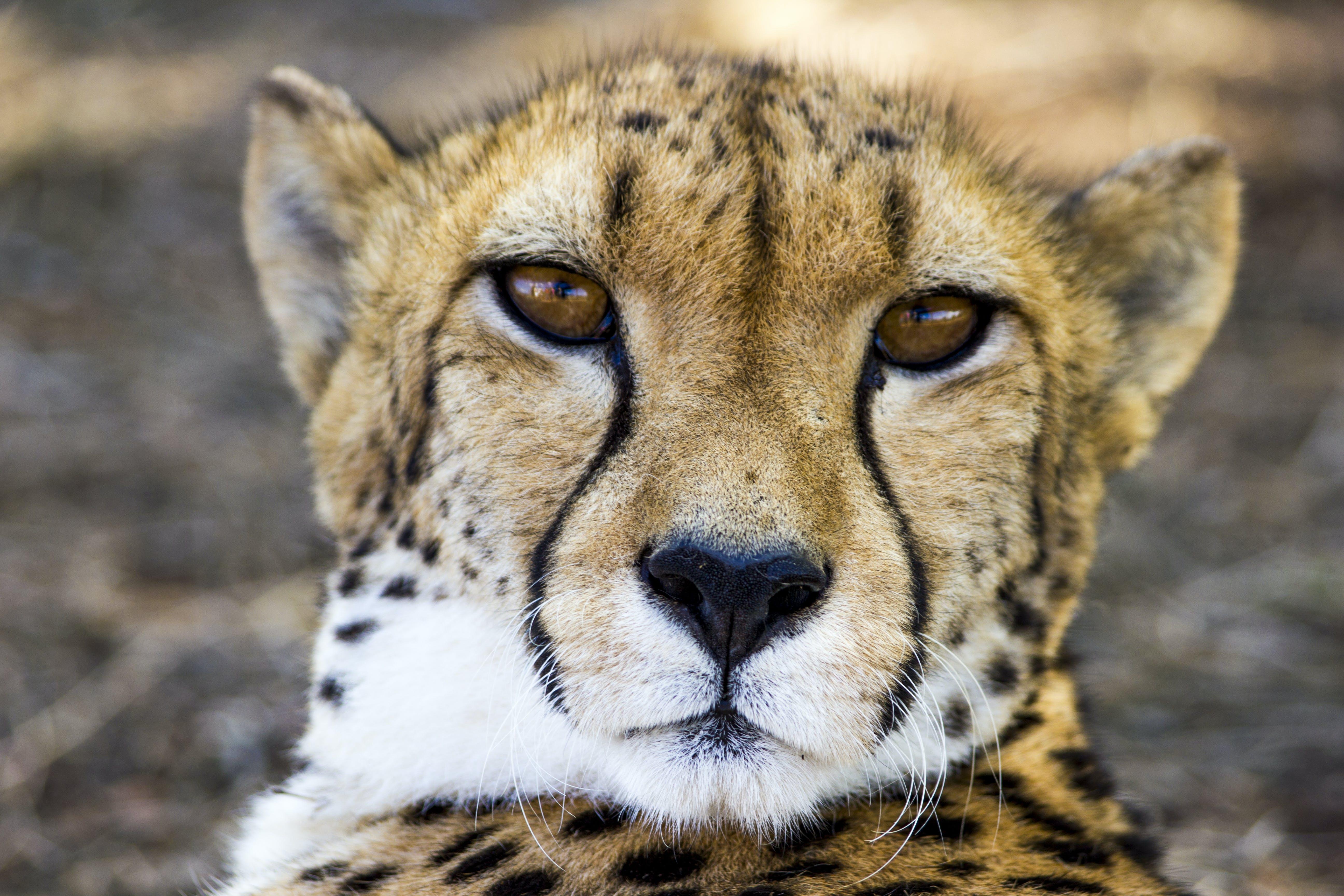 Adult Cheetah