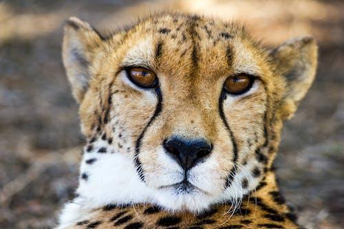 Základová fotografie zdarma na téma Afrika, detailní záběr, divoká kočka, fotografie přírody