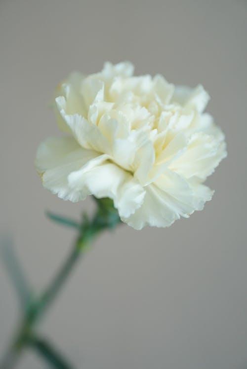 Kostenloses Stock Foto zu blühen, blütenblätter, blütenstaub