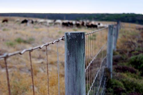 bufalolar, büyükbaş hayvan sürüsü, Çiftlik, çit içeren Ücretsiz stok fotoğraf