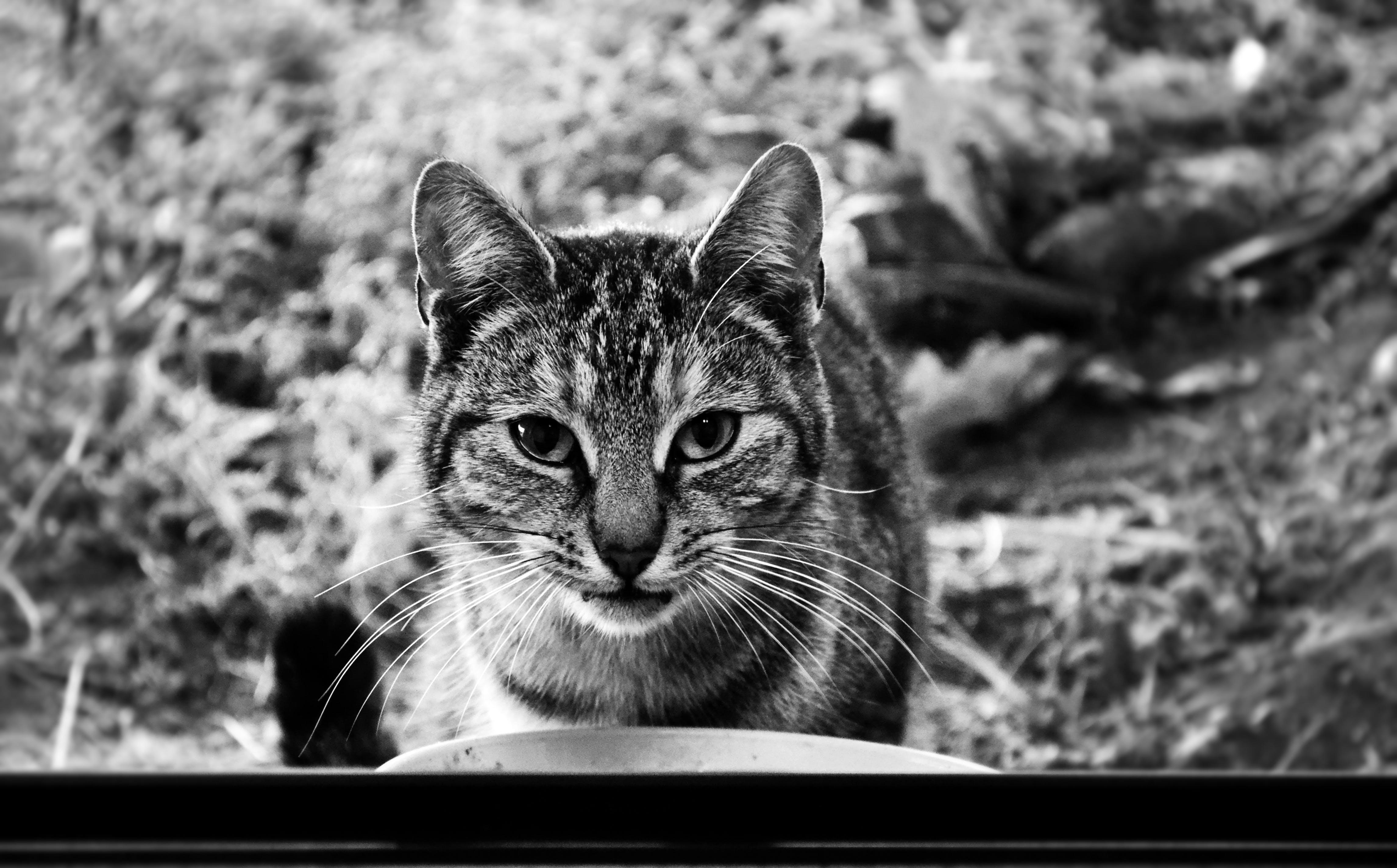 animal, black-and-white, cat