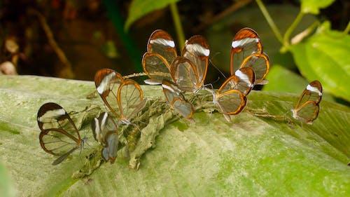 mariposas, transparentes 的 免费素材照片