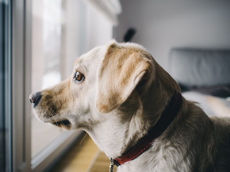Yellow Labrador Retriever Facing Window in Room